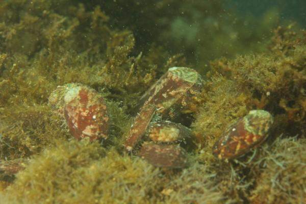 九孔幼苗放流後,找到藻類食用。(新北市農業局提供)