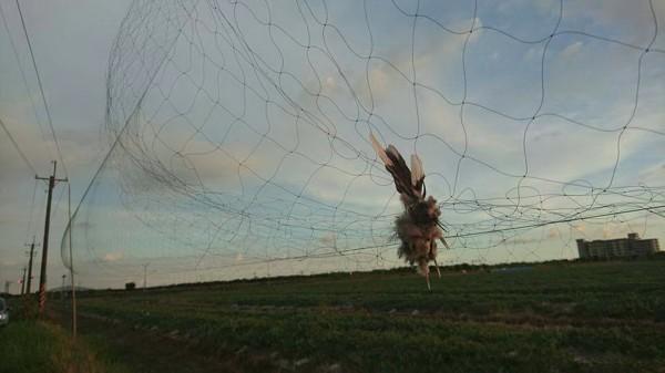 台南沙崙農場草鴞棲息地的掛網鳥屍。(林世忠提供)