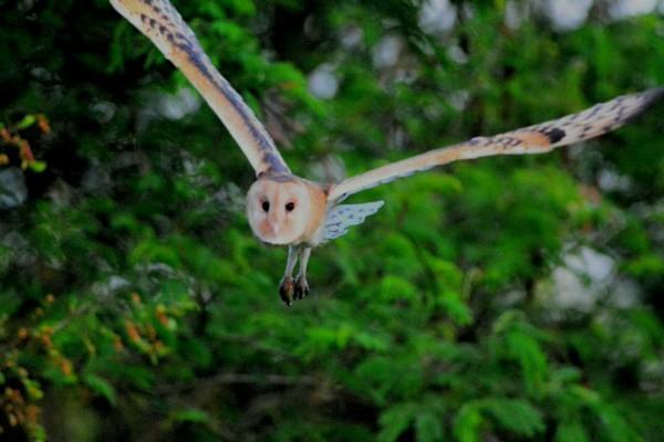 瀕危草鴞屬夜行性的貓頭鷹,獵補鼠類為食。(高雄鳥會提供)