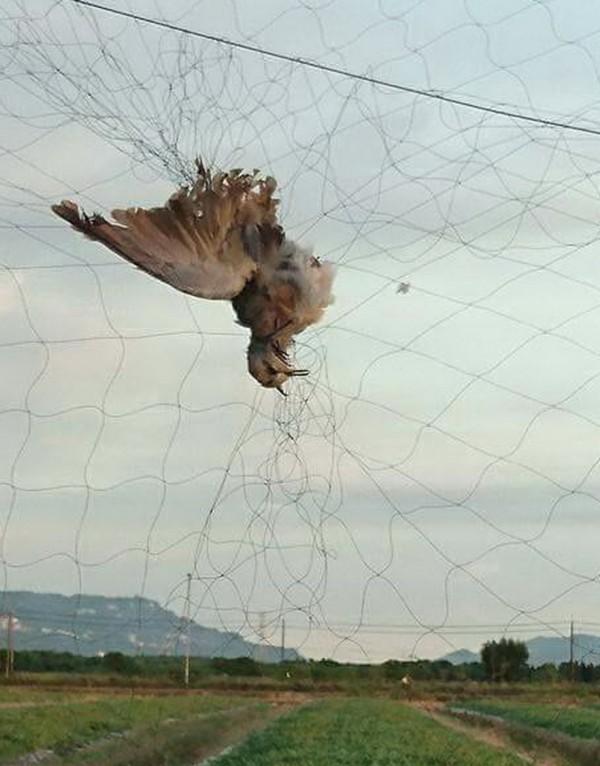 台南沙崙農場草鴞棲息地掛網鳥屍,現場怵目驚心。(林世忠提供)