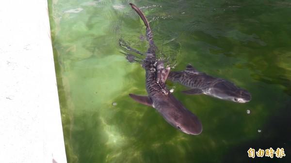 背部繫迷你衛星的小虎鯊將放流大海。(記者黃明堂攝)
