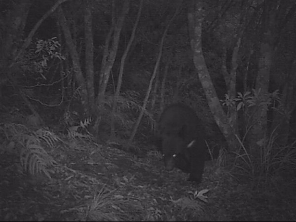 出沒向陽山屋附近的台灣黑熊。(記者黃明堂翻攝)