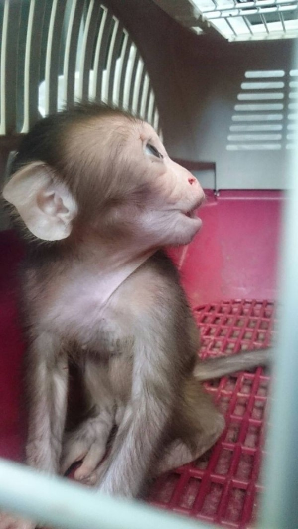 新北市動保處於石碇救援疑似遭車撞擊的母猴與小猴,母猴傷重不治,小猴安然無恙。(動保處提供)