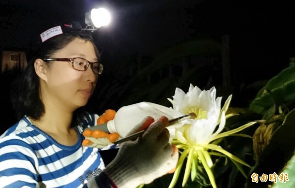 型農胡惠玲趁紅龍果開花授粉。(記者陳文嬋攝)