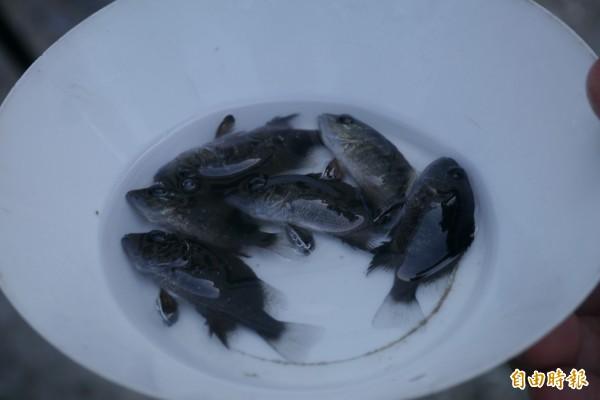 總計20萬尾5公分以上的銀紋笛鯛魚苗,全來自西部養殖場,魚苗在7月中旬已送到試驗單位,檢驗結果並無殘留硝基呋喃、孔維綠及氯黴素等藥物。(記者王峻祺攝)