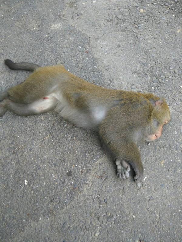 台灣獼猴闖民宅,獸醫師用吹箭捕捉。(嘉義縣政府提供)