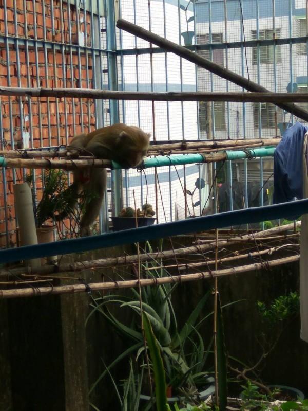 台灣獼猴闖入民宅和屋主對峙。(嘉義縣政府提供)
