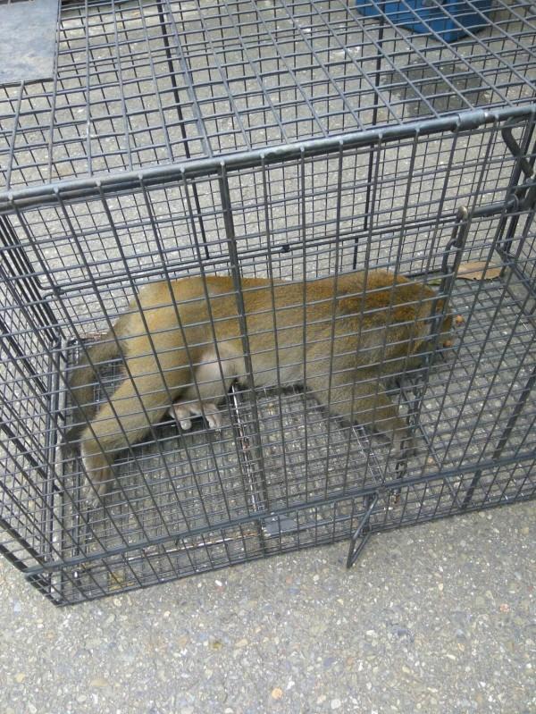 台灣獼猴被捕捉後,縣府人員帶回去照料。(嘉義縣政府提供)