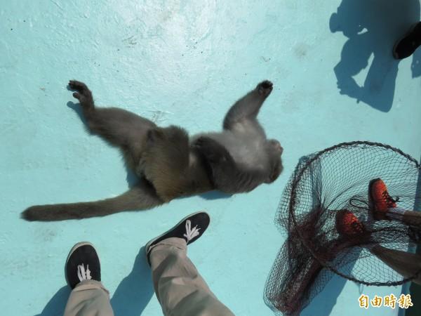 獸醫師與動保員歷經5小時追捕,好不容易以麻醉吹箭捕獲彌猴。(記者林欣漢攝)