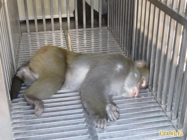 歷時五小時終於收服台灣彌猴。(記者林欣漢攝)