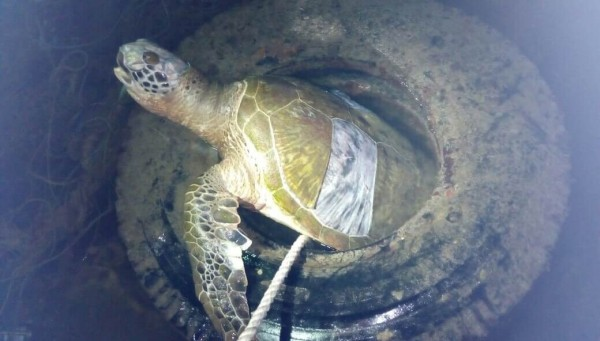 小琉球發現綠蠵龜卡在廢輪胎中死亡。(記者葉永騫翻攝)