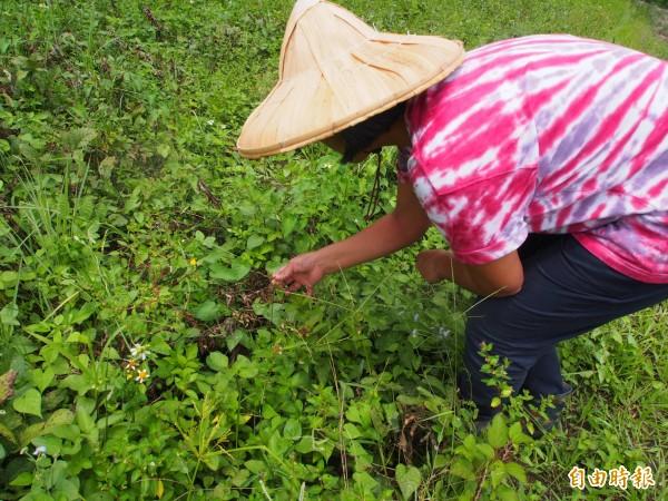 原屬旱作的大豆受不了連續降雨,部分豆莢倒伏萎凋,需人工逐一挑出。(記者王秀亭攝)