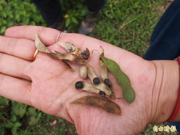 8月初連續降雨,讓電光的有機黑豆過熟、腐爛或未熟,僅有少數可收成。(記者王秀亭攝)