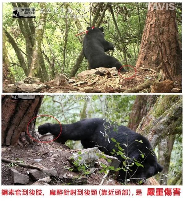 生態攝影師鍾榮峰擷取紀錄片「太空追熊DNA」畫面,直指黃美秀團隊以套索陷阱捕熊,畫面中黑熊左後腳遭鋼索套住,黑熊正在掙扎。(鍾榮峰提供)