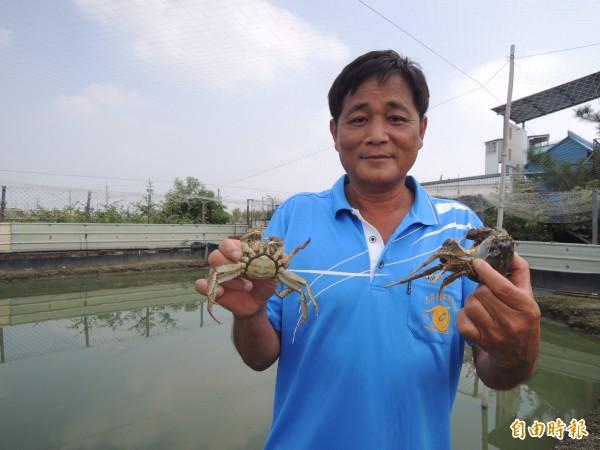 黃木林生態養殖的大閘蟹,鮮美上市。(記者廖淑玲攝)