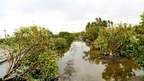 颱風造成高屏地區許多蓮霧樹倒伏。(農改場提供)