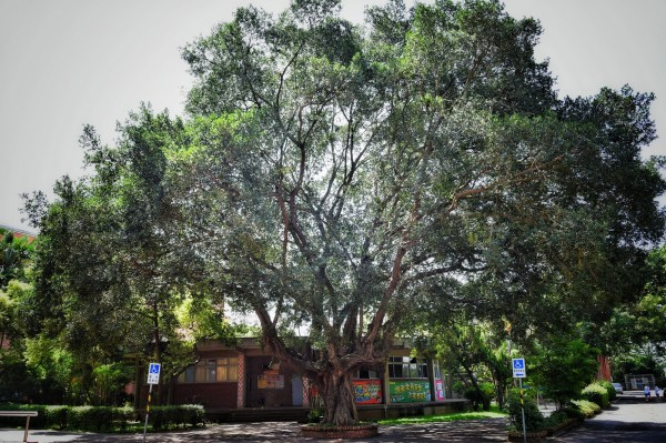 協同中學老榕樹位於校園中心點,是校內師生行走必經之處,圖為老榕樹原貌。(協同中學提供)