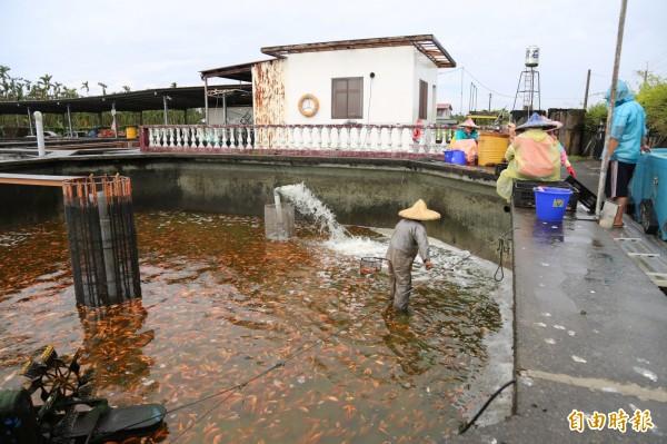 在換池、運送過程中,池中因加入了微量的牙科用麻醉劑,減少紅魚掙扎受傷,也保持魚體的好賣相。(記者邱芷柔攝)