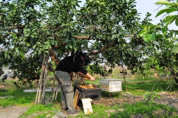 蜜蜂故事館近年來大力推廣放蜂計畫,免費教農友養蜂。(蜜蜂故事館提供、記者廖淑玲翻攝)