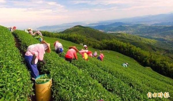 南投茶園工作的茶農,絕大多數是阿公、阿嬤的人物,凸顯耕種人口老化問題。(記者謝介裕攝)
