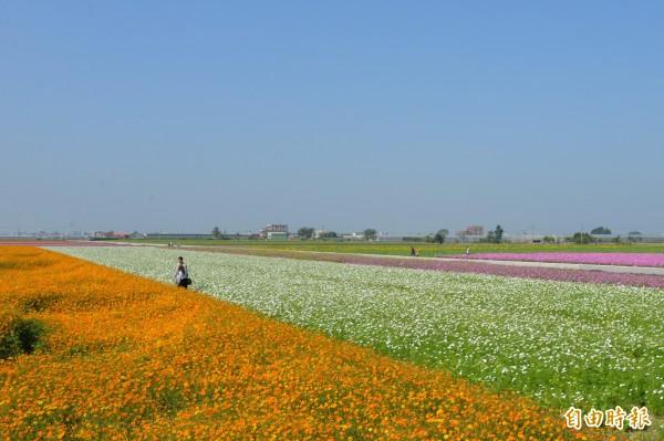 雲林縣明年花海面積倍增,給縣民花團錦簇年節浪漫氣氛。(記者林國賢攝)
