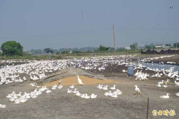 禽場採食區未做好隔離,提高鳥類帶來病毒風險。(記者林國賢攝)