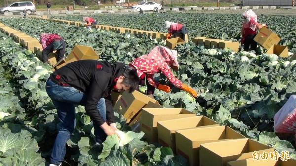 台北市北投區溫泉里長許智全向雲林菜農購買20公噸高麗菜分送給弱勢,菜農今天忙著採收裝箱。(記者黃淑莉攝)