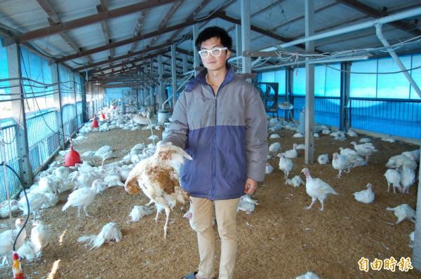 六甲這處火雞場原以為是飼料出問題造成火雞大量死亡,結果檢驗證實是染上禽流感H5。(記者楊金城攝)