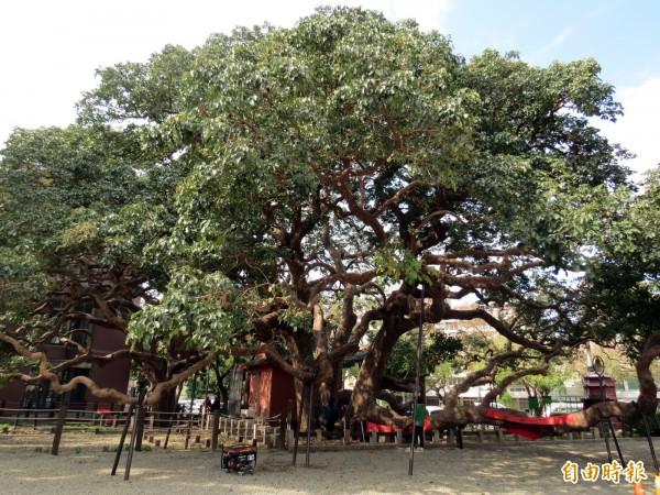 這株千年茄苳樹是台灣平地最大的茄冬樹。(記者張菁雅攝)
