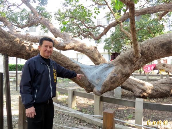 西區後龍里里長郭耀泉指出,千年茄苳樹因環境潮濕而生病,這處傷口已塗藥治療。(記者張菁雅攝)