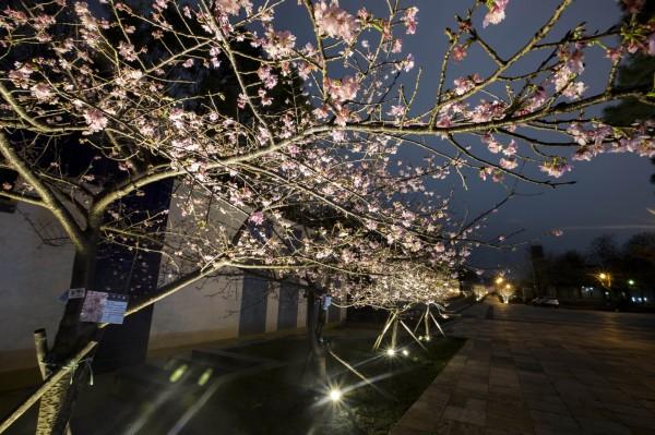 新竹公園櫻花綻放,夜櫻風情全台最好拍!(市府提供)