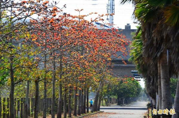 台南歸仁區的高鐵木棉道,目前橘色花朵陸續綻放中,也引起列車旅客的注意。(記者吳俊鋒攝)