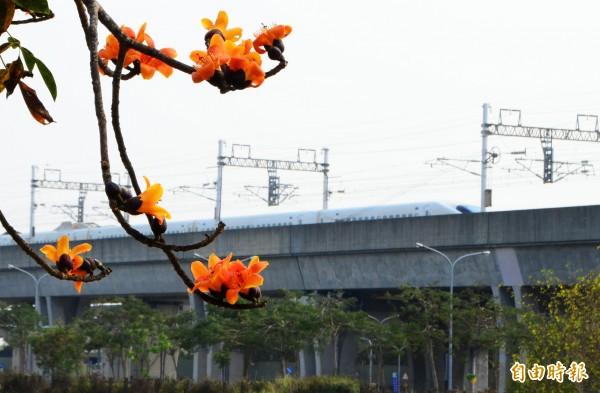 在高鐵木棉道賞花,還能見到列車疾駛而過,風情獨特。(記者吳俊鋒攝)