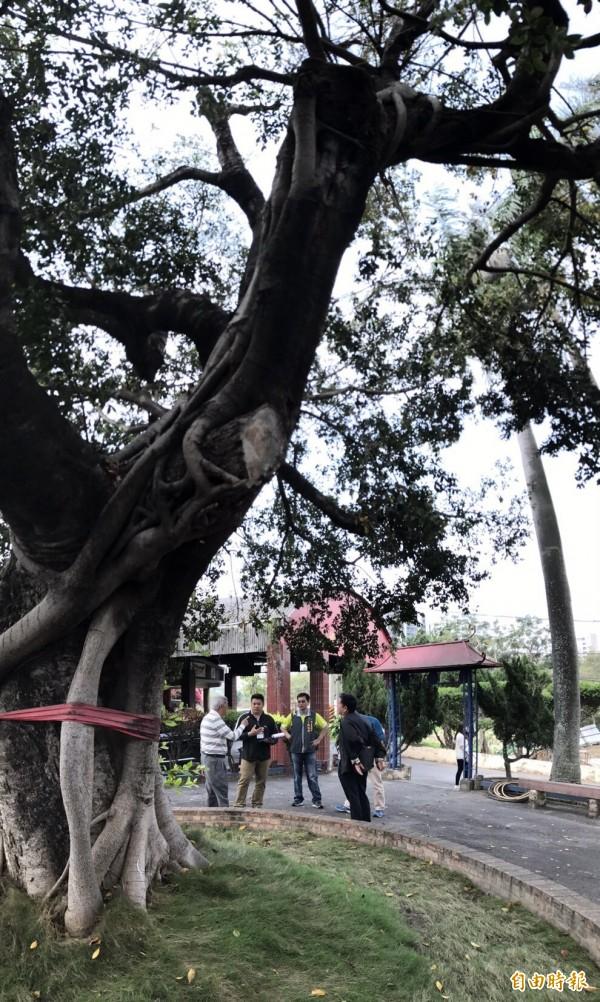 楓樹里的老榕樹生病了,民代、里民、樹醫一起搶救(記者蘇金鳳攝)