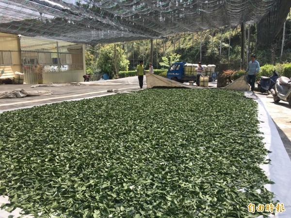 山區缺水嚴重今年春茶減收超過5成。(記者黃淑莉攝)