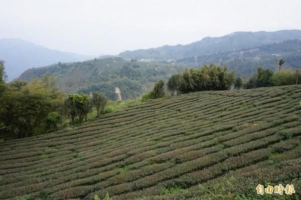 連月不見降大雨,全台水情拉警報,連帶使嘉義縣重要經濟作物茶葉生長速度減緩,甚至影響產量。(記者曾迺強攝)