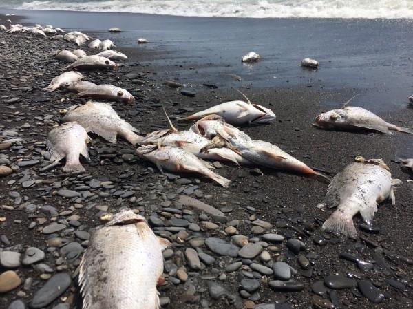 死魚綿延長達約3公里。(記者蔡宗憲翻攝)