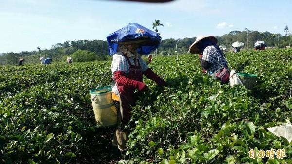 鹿野茶區進入春茶採收季節,卻受氣候影響,產量減少三至五成。(記者王秀亭攝)