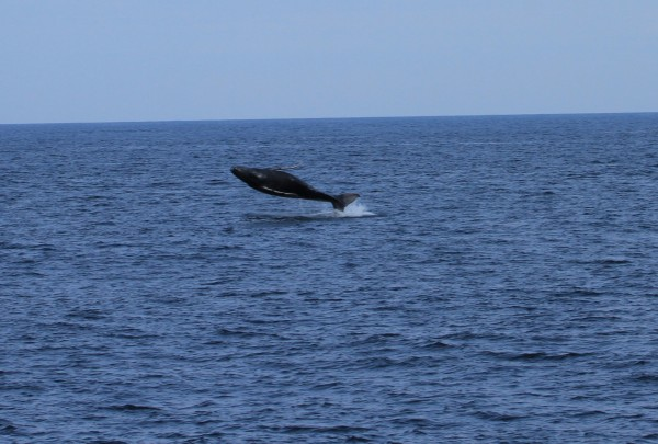 鯨寶寶也快樂彈飛。(東管處提供)