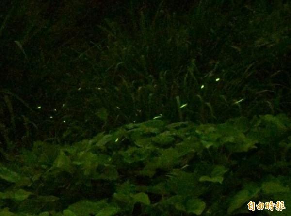 花壇鄉灣東村溪谷爆量螢光飛舞,像極夜裡低空飛行的流星,迷人風景令人驚艷。(記者湯世名攝)