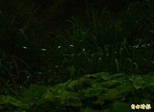 花壇鄉灣東村溪谷爆量螢光飛舞,迷人風景令人驚艷。(記者湯世名攝)