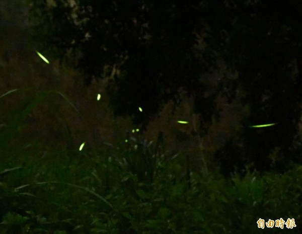 花壇鄉灣東村溪谷入夜後爆量的螢光飛舞,迷人風景令人驚艷。(記者湯世名攝)