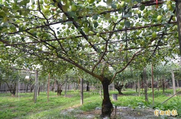 農委會鳳試所推新品種「水蜜」,不但口感如梨,更抗逆境。(記者陳文嬋攝)