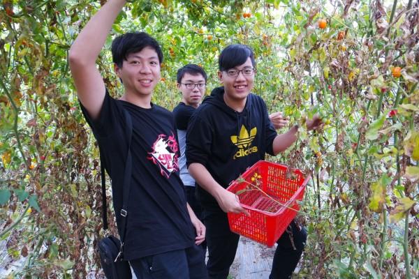 鳳山高中學生採番茄,當起一日農夫。(記者陳文嬋翻攝)