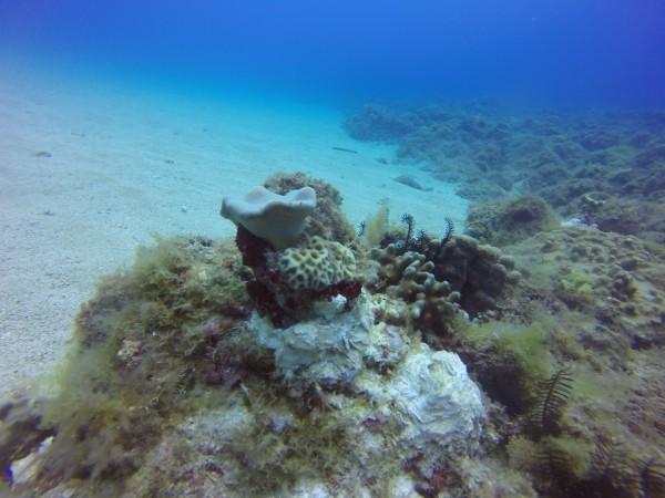 海科大在小琉球海域種下珊瑚。(記者陳彥廷翻攝)