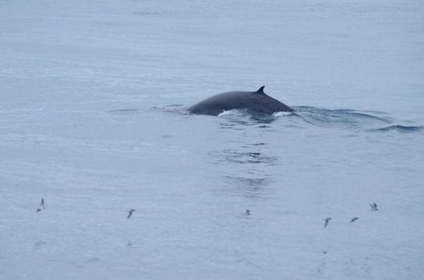 賞鯨業者比對背鰭形狀等特徵,判定此隻鯨魚可能就是角島鯨。(多羅滿賞鯨業者提供)