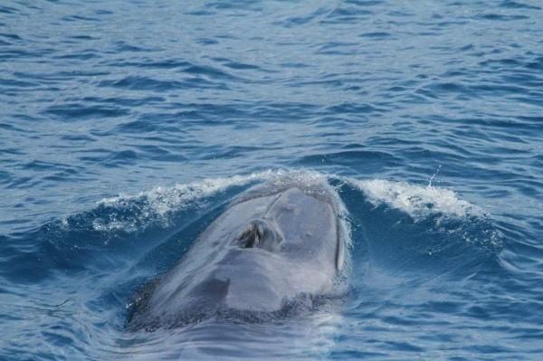 花蓮外海疑似發現目前全球非常稀少的角島鯨。(多羅滿賞鯨業者提供)