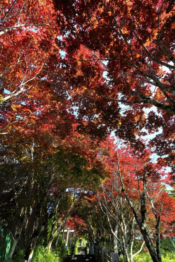 太平山莊中央階梯兩側的紫葉槭,長出紫紅色新葉。(圖由羅東林管處提供)