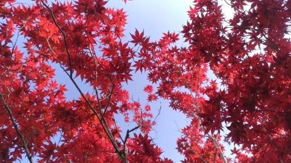 太平山紫葉槭展現紅葉光影魅力。(圖由羅東林管處提供)