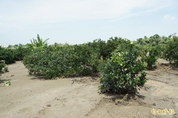 溢出的土石埯埋了果樹,積沙超過50公分。(記者詹士弘攝)